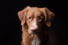 Dog Nova Scotia Duck Tolling Retriever Stock Photography