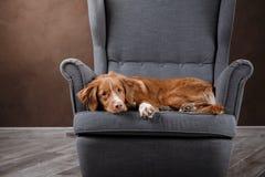 Dog Nova Scotia Duck Tolling Retriever, portrait dog on a studio color background Stock Images
