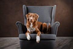 Dog Nova Scotia Duck Tolling Retriever, portrait dog on a studio color background Royalty Free Stock Image