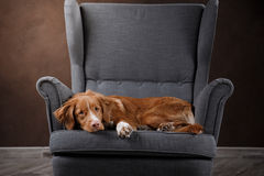 Dog Nova Scotia Duck Tolling Retriever, portrait dog on a studio color background Stock Photos
