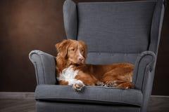 Dog Nova Scotia Duck Tolling Retriever, portrait dog on a studio color background Royalty Free Stock Photos