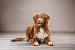 Dog Nova Scotia Duck Tolling Retriever, portrait dog on a studio color background Stock Photography