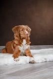 Dog Nova Scotia Duck Tolling Retriever, portrait dog on a studio color background Royalty Free Stock Images
