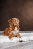 Dog Nova Scotia Duck Tolling Retriever, portrait dog on a studio color background Royalty Free Stock Photography