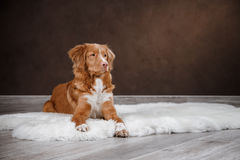 Dog Nova Scotia Duck Tolling Retriever, portrait dog on a studio color background Royalty Free Stock Photo