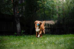 Dog Nova Scotia Duck Tolling Retriever running around the garden Royalty Free Stock Photo
