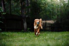 Dog Nova Scotia Duck Tolling Retriever running around the garden Stock Image