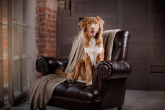 Dog Nova Scotia Duck Tolling Retriever sitting on a leather chair near the wooden box. loft Stock Images