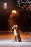 Dog Nova Scotia Duck Tolling Retriever on the street at night Royalty Free Stock Photo