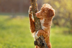 Dog Nova Scotia Duck Tolling Retriever in summer Royalty Free Stock Image