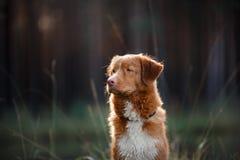 Dog Nova Scotia Duck Tolling Retriever royalty free stock image