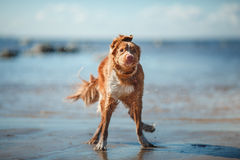 Dog Nova Scotia Duck Tolling Retriever walking stock image