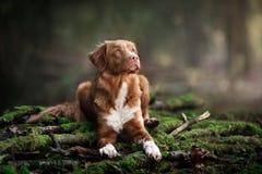 Dog Nova Scotia Duck Tolling Retriever  walking in spring forest Stock Photos