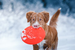 Dog Nova Scotia Duck Tolling Retriever  walking in winter park, playing with flying saucer. Dog Nova Scotia Duck Tolling Retriever  walking in winter park Royalty Free Stock Image