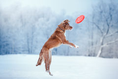 Dog Nova Scotia Duck Tolling Retriever  walking in winter park, playing with flying saucer. Dog Nova Scotia Duck Tolling Retriever  walking in winter park Royalty Free Stock Photo