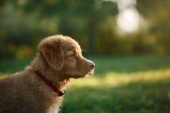 Dog Nova Scotia Duck Tolling Retriever Stock Images