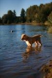 Dog Nova Scotia Duck Tolling Retriever Stock Photo