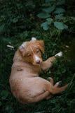 Dog Nova Scotia Duck Tolling Retriever Royalty Free Stock Images