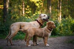 Dog Nova Scotia Duck Tolling Retriever Royalty Free Stock Photography