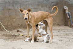 Dog nursing it's young Royalty Free Stock Photography