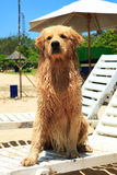 The dog on Nusa Dua Beach. The dog sunbathes, sitting on a plank bed Stock Photo