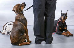 Dog obedience class. With instructior Royalty Free Stock Photo