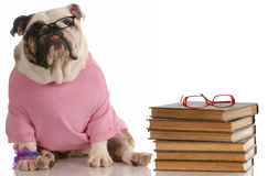 Dog obedience school. English bulldog sitting beside a stack of books Stock Image
