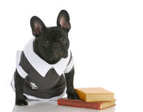 Dog obedience school. French bulldog wearing shirt sitting with books Stock Photo