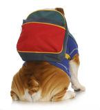 Dog obedience school. English bulldog with back to viewer wearing colorful backpack on white background Stock Photo