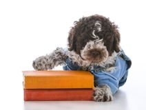dog obedience school royalty free stock photography