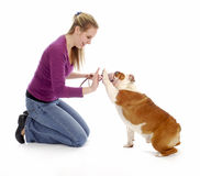 Dog obedience training. Woman teaching english bulldog to high five or shake a paw on white background stock photo