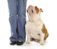 Dog obedience training. Obedience training - english bulldog sitting looking up at owner on white background Royalty Free Stock Image