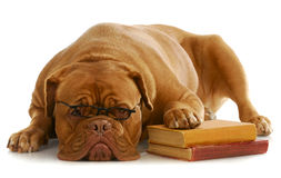 Dog Obedience Training Royalty Free Stock Photography