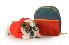 Dog obedience training. English bulldog wearing glasses and sweater laying down beside backpack Royalty Free Stock Photo