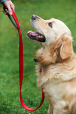 Dog Obedience Training. Golden Retriever At Dog Obedience Training Royalty Free Stock Images