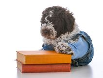 Dog obedience training. Lagatto romagnolo puppy laying with two books on white background Stock Image