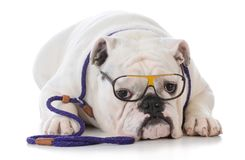 Dog obedience training. Smart dog doing dog obedience training on white background Stock Images