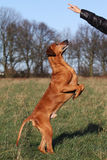 Dog Obedient Up. A hand of a woman showing her obedient Rhodesian Ridgeback dog the sign for UP royalty free stock image