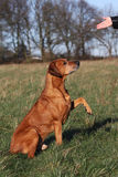 Dog Obedient Up. A hand of a woman showing her obedient Rhodesian Ridgeback dog the sign to give the paw stock image