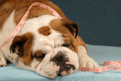 Dog obesity or health. Lazy bulldog with measuring tape draped across her body Royalty Free Stock Photo