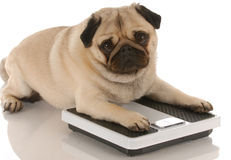 Free Dog Obesity Or Fitness Royalty Free Stock Photo - 11167035
