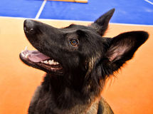 Dog obeying. Belgian malinois on a exibition dog show Royalty Free Stock Photo