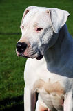 Dog obeying. Portrait of Dogo Argentino breed royalty free stock images