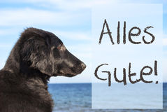 Dog At Ocean, Alles Gute Means Best Wishes. German Text Alles Gute Means Best Wishes. Flat Coated Retriever Dog Infront Of Ocean. Water In The Background Stock Photography