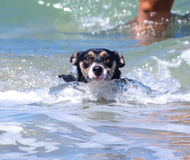 Dog in the Ocean. Little dog is swimming in the ocean Stock Photos