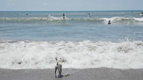 Dog Ocean View Bali Indonesia Slowmotion stock video