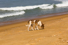 Dog on the ocean. The dog walks on the ocean Royalty Free Stock Image