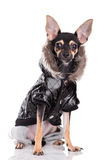 Dog Of Fashion Stock Photography