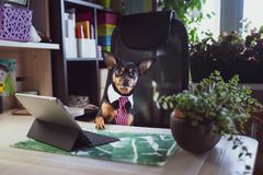 Dog office worker. A dog in a tie. And a white collar in the office. Russian Toy Terrier. Director, Manager, Worker fun stock photography