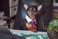 Dog office worker. A dog in a tie. And a white collar in the office. Russian Toy Terrier. Director, Manager, Worker fun royalty free stock photos